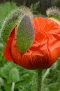 Fresh Blooming Red Poppy Flower Out Bud Casings