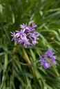 Fresh blooming society garlic Royalty Free Stock Photo