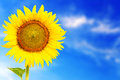 Fresh blossom sunflower outstanding in sunnyday Royalty Free Stock Photo