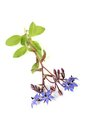 Fresh blue Borage Royalty Free Stock Photo