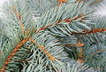Fresh blue spruce branch background Stock Image