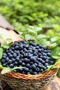 Fresh blueberries in a basket Royalty Free Stock Photo