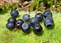 Fresh blueberry Stock Photography