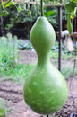 Fresh bottle gourd in vine in a vegetable garden calabash Royalty Free Stock Photo