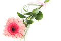 Fresh bouquet from pimk gerbers ping on white background Royalty Free Stock Photos