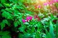 Fresh bright pink bleeding heart Dicentra Spectabilis blossoming flowers on green leaves background in the garden in spring. Royalty Free Stock Photo