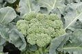Fresh broccoli close up of in garden Stock Images