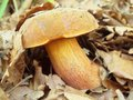 Fresh brown white mushroom hidden in old dry beech leaves and dry needles closeup view Stock Photo