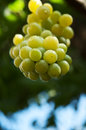 Fresh bunch of green grapes Royalty Free Stock Photography