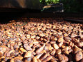 Fresh cacao beans drying in the sun guadeloupe Stock Image