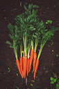 Fresh carrot crop in the garden Royalty Free Stock Photo