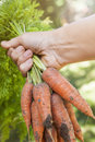 Fresh carrots from garden hand holding bunch of organic homegrown harvested with dirt Royalty Free Stock Photos