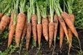 Fresh carrots Royalty Free Stock Photo