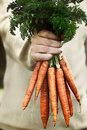 Fresh carrots Royalty Free Stock Photo