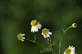 Fresh chamomile on green background Stock Images