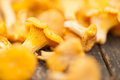 Fresh chanterelles Stock Photo