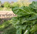 Fresh chard leaves Stock Images
