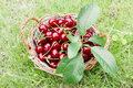 Fresh Cherries in Basket Stock Image