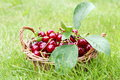 Fresh Cherries in Basket Stock Photo