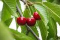 Fresh Cherries on branch.