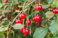 Fresh cherries on branch ripe Royalty Free Stock Photos