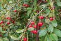 Fresh cherries on branch ripe Stock Photography