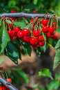 Fresh cherries bunch of juicy on branch in the countryside Royalty Free Stock Photography