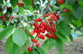 Fresh cherries hang on tree sweet hanging the cherry branch Royalty Free Stock Images