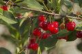 Fresh cherries juicy and organic Royalty Free Stock Image