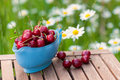 Fresh cherries light blue sauciere filled with on a rustic garden table with a meadow full of blooming oxeye daisies Stock Photography
