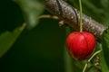 Fresh cherry fruit Royalty Free Stock Photo