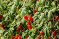 Fresh cherry tomato on a branch in the garden. Royalty Free Stock Photo