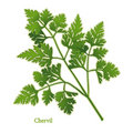 Fresh Chervil Herb Royalty Free Stock Image