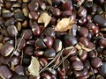 Fresh chestnut from the forest Royalty Free Stock Photo