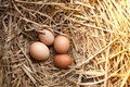 Fresh chicken eggs with nest,A pile of brown eggs in nest Royalty Free Stock Photo