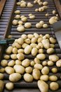 Fresh, cleaned and sorted potatoes on a conveyor belt Royalty Free Stock Photo