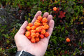 Fresh cloudberries in hand Royalty Free Stock Photo