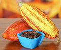 Fresh cocoa pods and dark dry cocoa bean inside of a blue plastic bowl Royalty Free Stock Photo