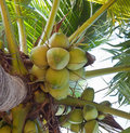 Fresh coconuts Royalty Free Stock Images
