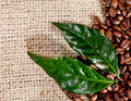 Fresh coffee beans and leaves on hessian Royalty Free Stock Images
