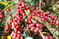 Fresh coffee grains on plant Royalty Free Stock Images
