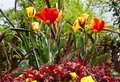 Fresh colorful tulips in warm sunlight a Stock Photography