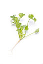 Fresh coriander cilantro herb isolated on a white background Royalty Free Stock Photography