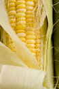 Fresh Corn on the Cob Stock Image