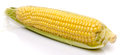 Fresh corn on the cob Royalty Free Stock Photo