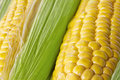 Fresh corn cobs Stock Image