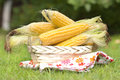 Fresh corn cobs in a basket on a grass ears of wicker garden Stock Photography