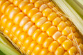 Fresh corncob close up of the Royalty Free Stock Image
