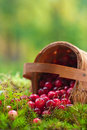 Fresh cranberries in a basket Royalty Free Stock Images