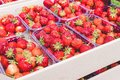 A fresh crop of ripe red organic strawberries lies in a cardboard box